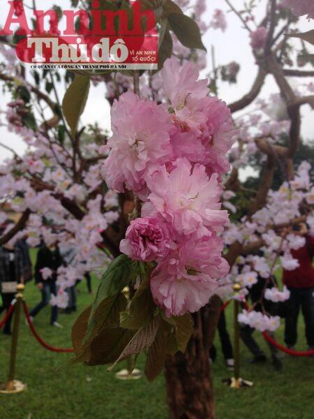 Thú vị với lễ hội hoa anh đào Nhật Bản 2015 ảnh 2