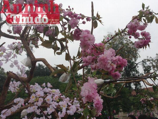 Thú vị với lễ hội hoa anh đào Nhật Bản 2015 ảnh 4