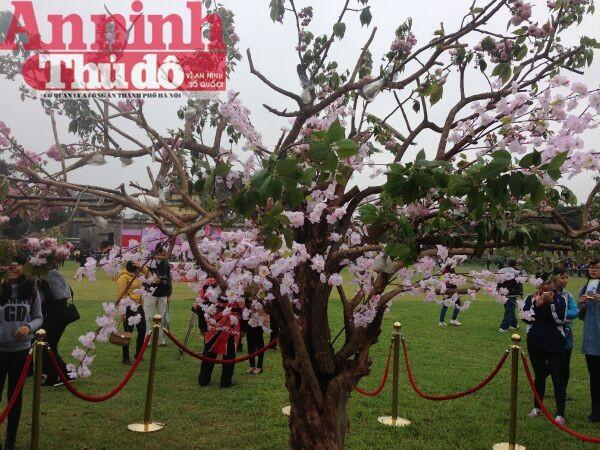Thú vị với lễ hội hoa anh đào Nhật Bản 2015 ảnh 7