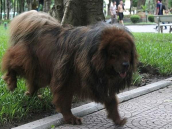 Hãi hùng vì chó dữ tung tăng khắp các công viên, vườn hoa Hà Nội ảnh 1