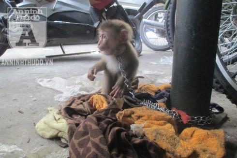 """CAP khó xử khi Trung tâm Cứu hộ động vật hoang dã Hà Nội quá """"bình tĩnh"""" trong việc tiếp nhận chú khỉ"""