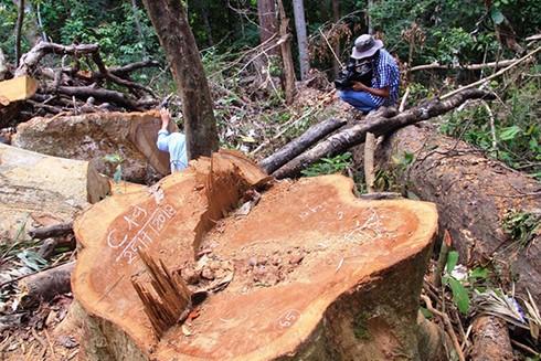Hiện trường vụ phá rừng nghiêm trọng ở Bình Định