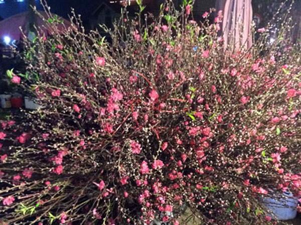 Hoa đào khoe sắc