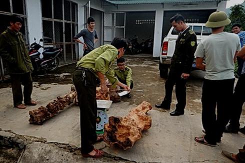 Kiểm lâm Vườn quốc gia Phong Nha - Kẻ Bàng thu giữ gỗ giáng hương