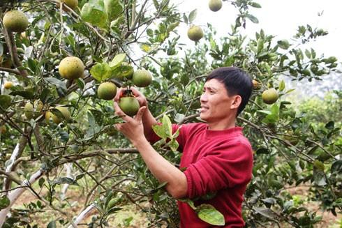 Ngoài công tác đoàn thể, anh Sinh còn trồng cam, chăn nuôi