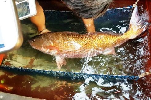 Con cá lạ nghi là Sủ vàng quý hiếm giá đã được chủ nhân bán với giá 15 triệu đồng