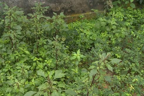 113 cây thuốc phiện tại vườn nhà bà Bùi Thị Đếm