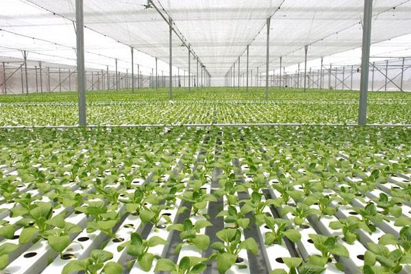 Hệ thống nhà kính VinEco Tam Đảo do Tập đoàn Vingroup đầu tư có diện tích 4,5ha, sử dụng công nghệ sản xuất rau mầm Microgreen được cung cấp duy nhất bởi công ty Teshuva Agricultural Projects (TAP) đến từ Israel.