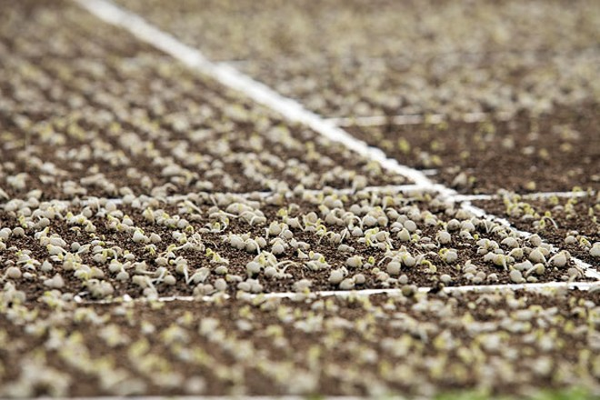 Sau khi tra hạt giống, các khay giá thể sẽ được chuyển vào nhà ủ riêng biệt với sự kiểm soát nhiệt độ, độ ẩm phù hợp.