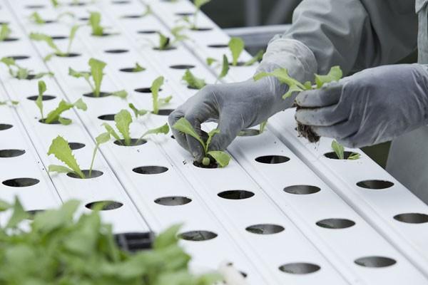 Với dòng rau thủy canh, khi rau đạt kích thước khoảng 7-10 cm sẽ được đưa qua nuôi dưỡng hoàn toàn bằng... nước.
