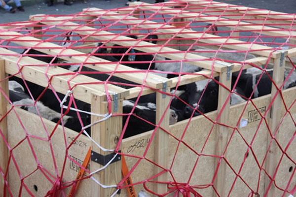 """Bò vận chuyển đều là giống cao sản thuần Holstein Friesian hàng đầu thế giới, có khả năng cho sữa trung bình 8.000-10.000 lít một chu kỳ. Đàn bò trước khi lên máy bay đã kiểm tra y tế, dịch tễ kỹ lưỡng và chỉ cho uống nước. """"Chúng được quan tâm còn hơn cả khách VIP của các hàng không"""", đại diện Vinamilk ví von."""