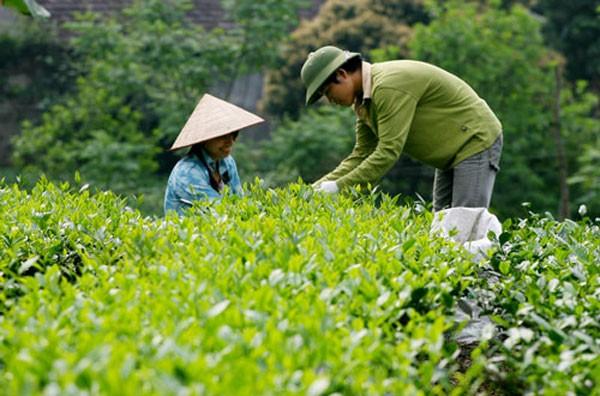 Trà xanh không độ có hương vị đặc trưng nhờ sử dụng nguyên liệu sạch từ vùng trà Thái Nguyên