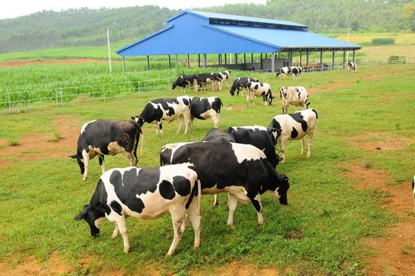 Hệ thống trang trại được xây dựng khép kín, tự động hóa với giống bò được tuyển chọn kỹ lưỡng nhằm đem đến năng suất sữa cao nhất