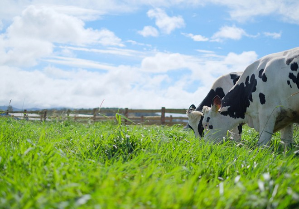 Các gia đình sẽ thích mê khi nhìn thấy khung cảnh đàn bò thong dong gặm cỏ trong bầu không khí trong lành