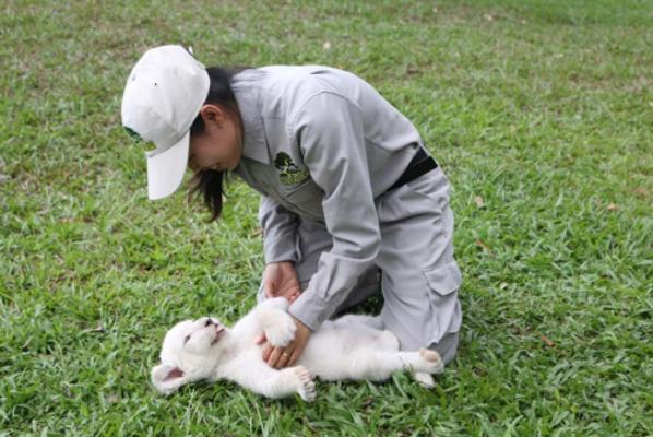 Sư tử trắng vui đùa cùng chuyên viên chăm sóc