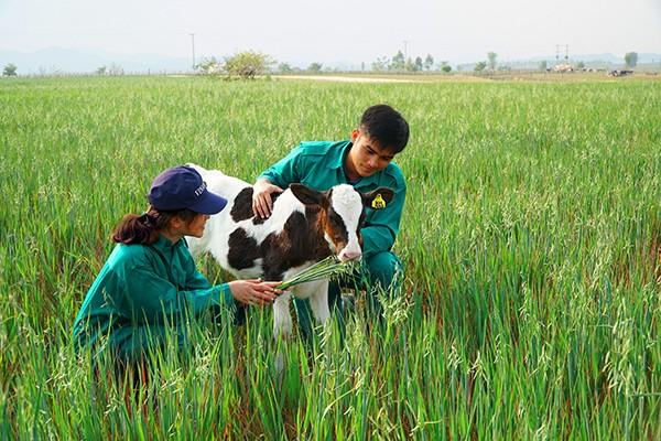 """Những cánh đồng yến mạch rộng lớn của """"resort"""" này là nguồn thức ăn bổ dưỡng, thơm ngon cho các cô bò sữa Organic."""