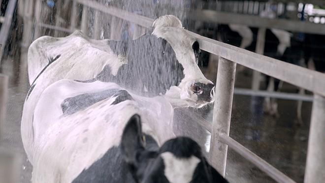 Hệ thống làm mát tự động giúp đàn bò sữa ở Resort Bò sữa Vinamilk cảm thấy thoải mái như ở quê hương ôn đới của mình