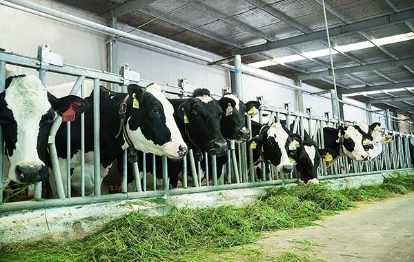 Chip điện tử được đeo cho từng con bò để nhận được sự chăm sóc kỹ lưỡng và chuyên biệt
