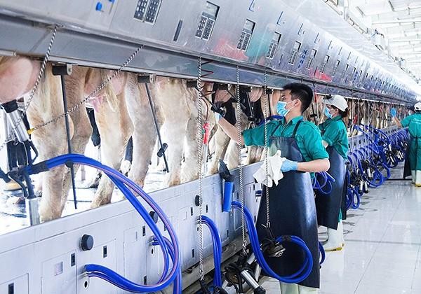 Dàn vắt sữa tự động có thể tiếp nhận hơn 200 con bò/ lần vắt