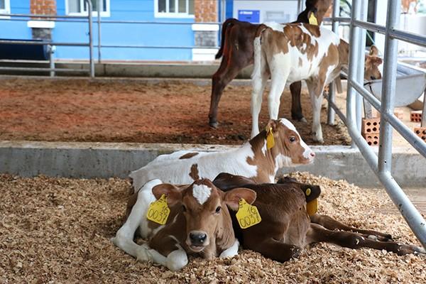Hệ thống vệ sinh tự động thiết bị cho bê uống sữa, giúp cho đàn bê ngoài bữa ăn ngon còn luôn được đảm bảo vệ sinh, an toàn, đảm bảo sức khỏe.