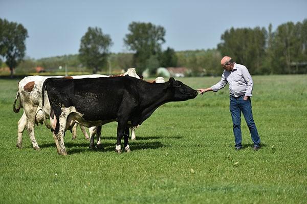 Đàn bò hữu cơ tại Hà Lan được nuôi lớn bằng thức ăn hoàn toàn tự nhiên