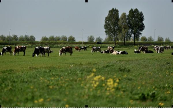 Ngày nay, giống bò sữa chủ lực của nhiều nước trên thế giới mang tên Holstein Friesian (HF) có nguồn gốc từ Hà Lan