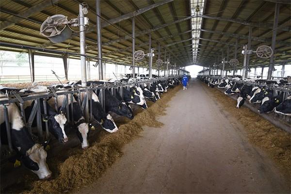 Sự chuyên nghiệp và đạt quy chuẩn thế giới của TH true MILK, bắt đầu từ việc chọn giống bò nhập khẩu về chăn nuôi, là lý do khiến thương hiệu sữa tươi này được chọn đầu tiên và duy nhất (đến thời điểm này tại Việt Nam) xuất khẩu sang Trung Quốc.