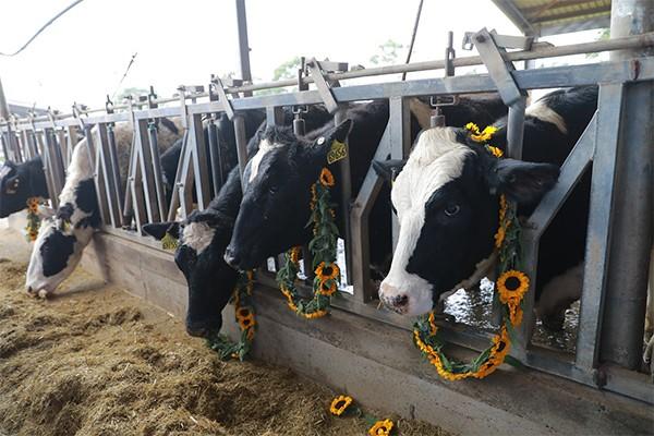 4.500 con bò sữa cao sản thuần chủng Holstein Friesian (HF) được TH True MILK nhập khẩu từ Mỹ có khả năng cho năng suất sữa đạt 12,5-13 tấn/chu kỳ, hàm lượng chất béo trong sữa đạt tới 3,6-3,8% và hàm lượng chất đạm trên 2,7%.