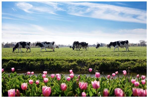 Hà Lan được ví như cái nôi của ngành sữa toàn cầu