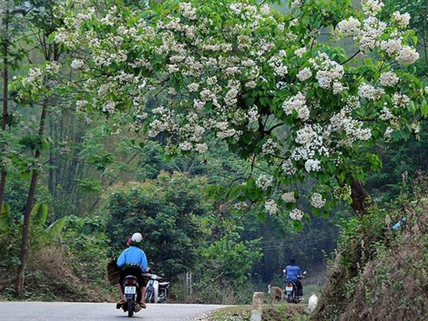 """""""Mùa phong lưu"""" bên những cánh rừng trắng màu hoa trẩu ảnh 1"""