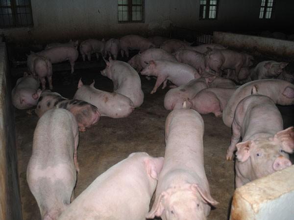 Sử dụng chất cấm trong chăn nuôi: Tội ác cần ngăn chặn! ảnh 1