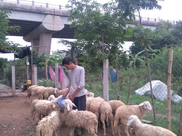 Kiếm tiền tỷ nhờ chăn cừu giữa lòng Hà Nội ảnh 1