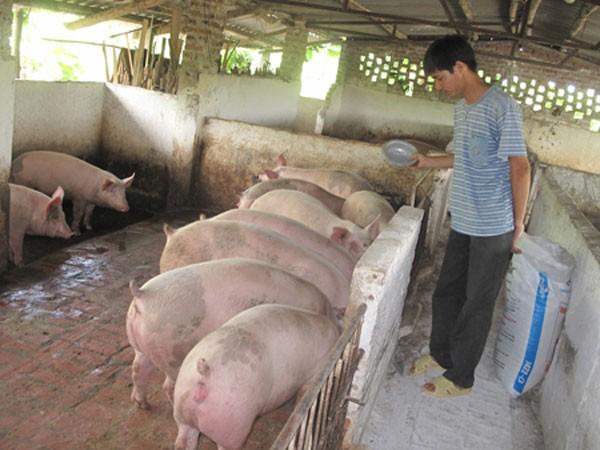Trung Quốc mua gom lợn, người dân nên thận trọng ảnh 1