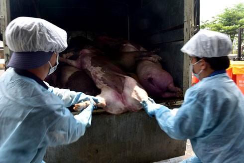 Xử lý lợn chết dịch ở Quảng Bình