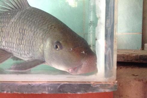 Phần môi cá có hình khối sụn