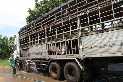 Việt Nam sẽ làm việc với phía Trung Quốc để đàm phán xuất khẩu lợn chính ngạch