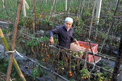 Cà chua của nông dân hiện chỉ còn 1.000-3.000 đồng/kg