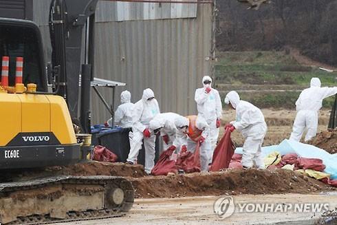 Hàn Quốc tiêu hủy 201.000 gia cầm khống chế dịch cúm H5N6