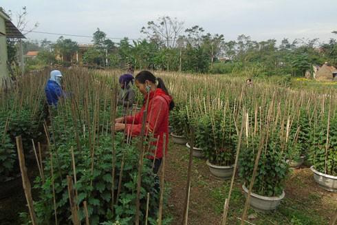 Người dân tại xã Lý Trạch, huyện Bố Trạch, tỉnh Quảng Bình tất bật cho công việc chăm sóc hoa