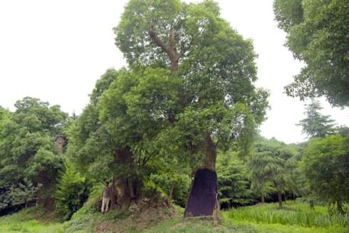 Hàng trăm cây long não cổ thụ cũng đã hồi sinh ở vùng đất mới