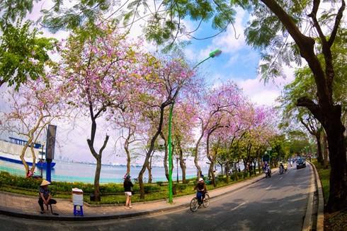 Đường Thanh Niên mùa phượng vĩ và hoa ban bung sắc trổ hoa