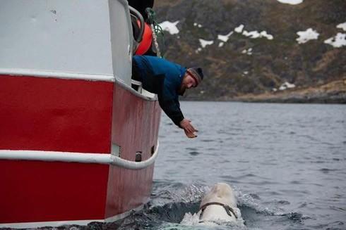 Con cá voi trắng liên tục húc vào tàu đánh cá ở vùng biển Na Uy