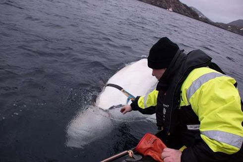 """Hành động kỳ quặc của cá voi nghi là """"vũ khí quân sự"""" Nga tại vùng biển Na Uy"""