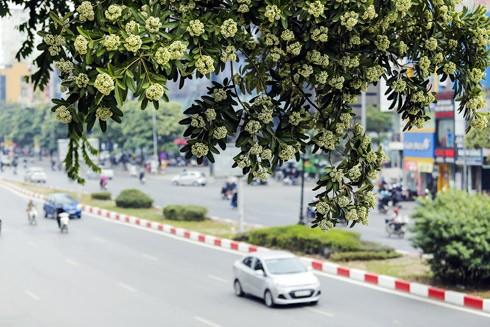 Hoa sữa nở nhiều trên các tuyến phố giữa tháng 5 gây ngạc nhiên cho người Hà Nội. Ảnh: LAM THANH