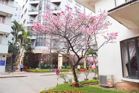 Cây hoa anh đào được trồng tại khu ngoại giao ở 14 Thụy Khuê, Hà Nội