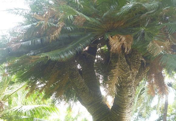 Thân cây tẻ ra thành nhiều nhánh độc đáo