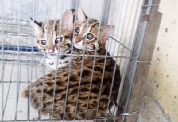 Hai cá thể mèo rừng quý hiếm đang được Chi cục kiểm lâm tỉnh tạm giữ và chăm sóc