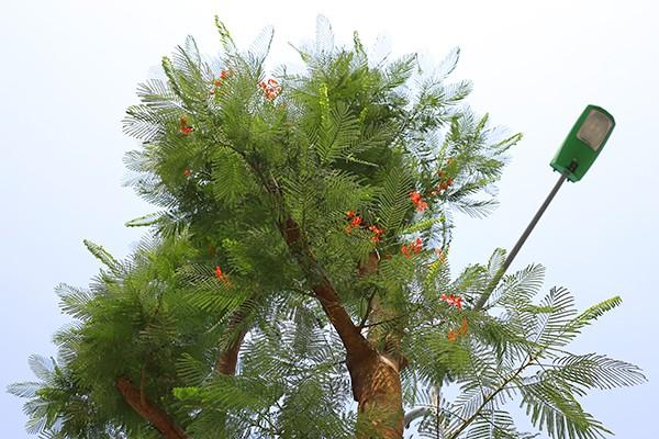 Kỳ lạ phượng vỹ Hà Nội nở hoa trái mùa ảnh 1