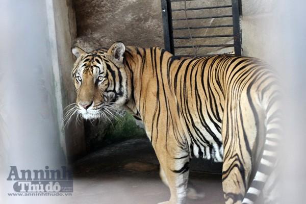 Hổ gây nuôi trong trang trại ở Việt Nam