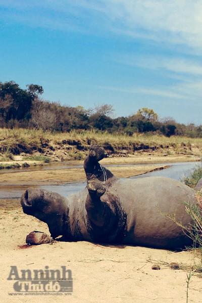 Tê giác bị giết để lấy sừng ở Nam Phi